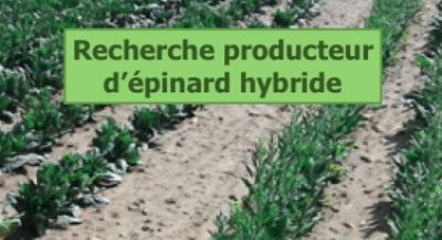 Production épinard récolte 2019